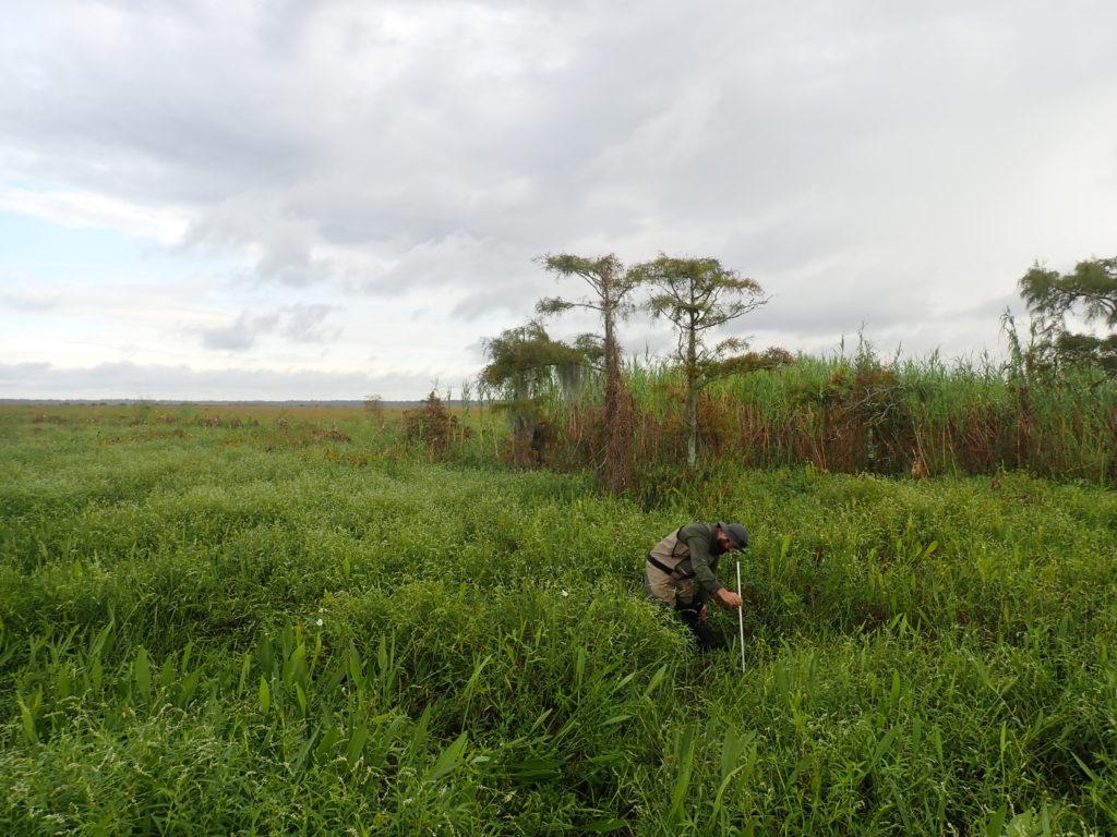 Joel Mancuso measuring water level at the Mandeville Tchefuncta assimilation wetlands (September 2018).