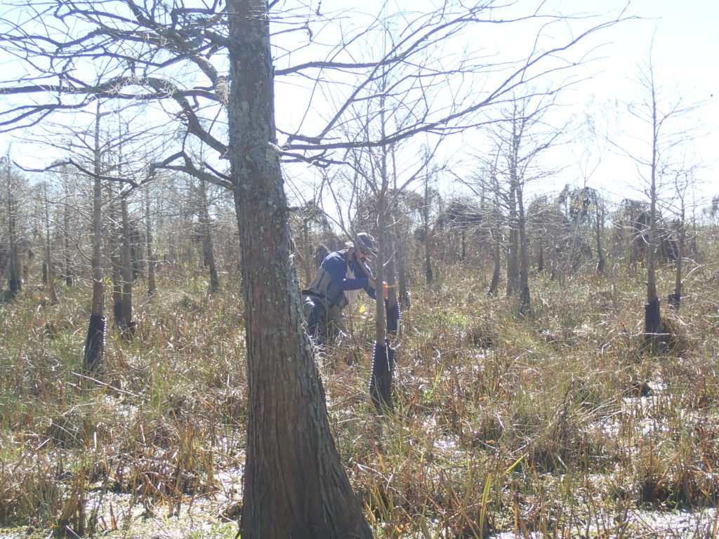 Trees planted as seedlings in 2012 (picture taken 1/10/2019) at the Mandeville assimilation wetlands.
