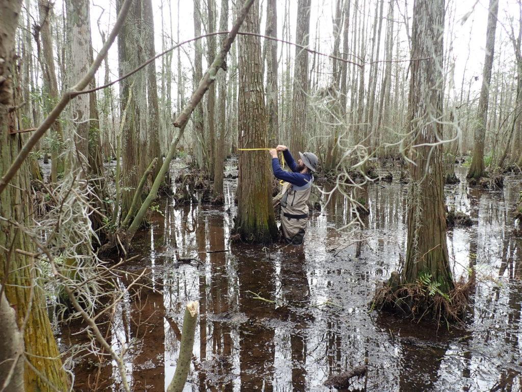 Diameter measurements at Mandeville assimilation wetlands.