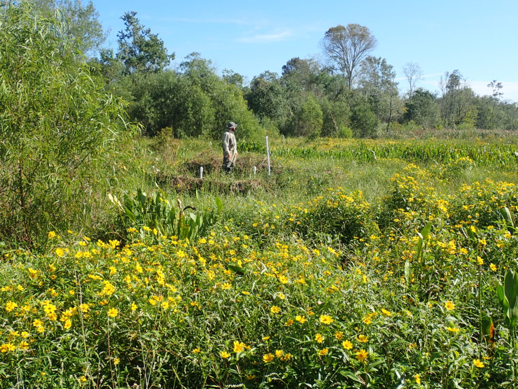 The Hammond assimilation wetland (October 2018).