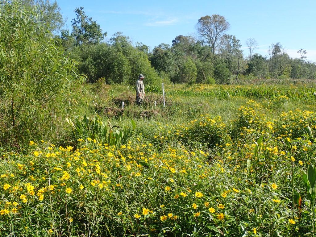 The Hammond assimilation wetland (October 2018).