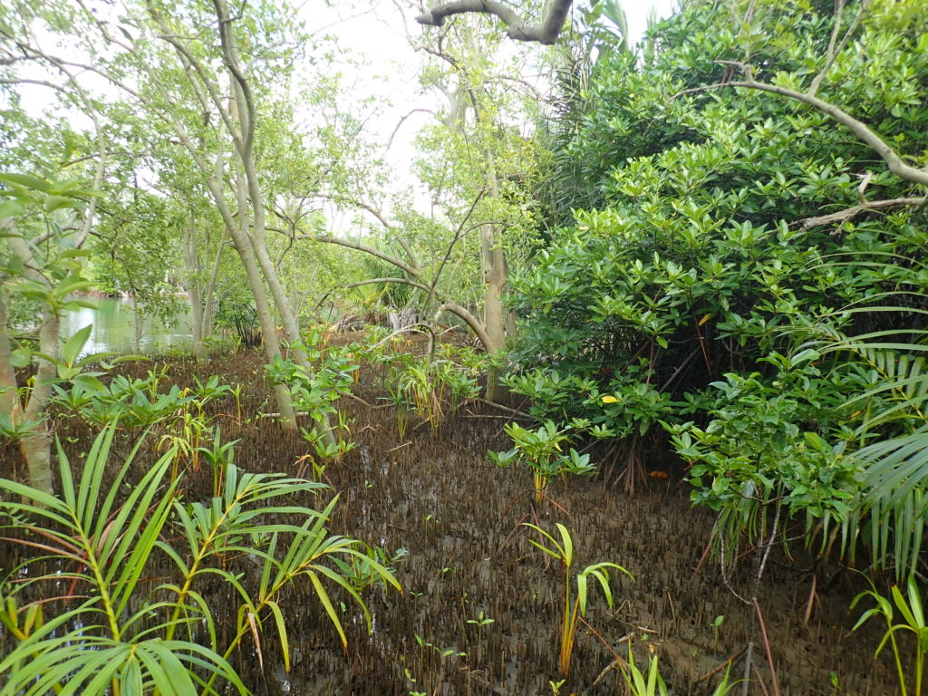 Mangrove restoration on Guam.