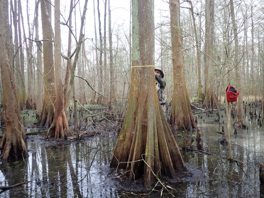 DBH measurements at the St. Martinville assimilation wetland on February 22, 2019.