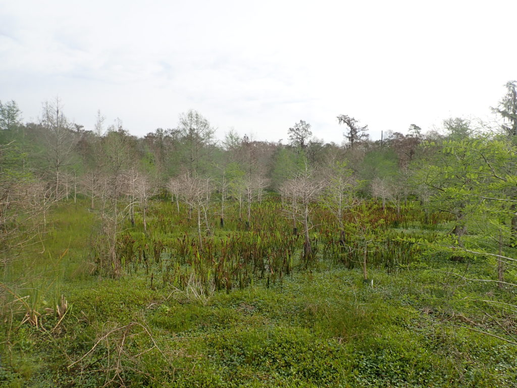 Cypress trees planted in 2012 at the Tchefuncte Marsh assimilation wetland.