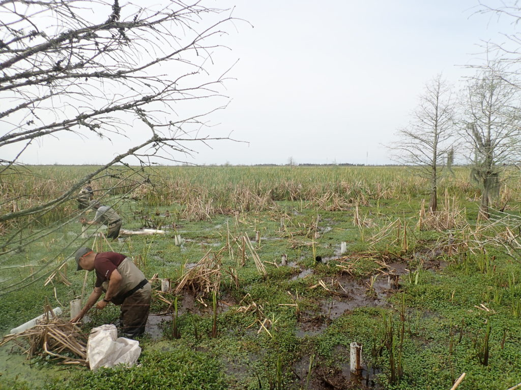 Planting cypress seedling with nutria protectors at the Tchefuncte Marsh assimilation wetland for Mandeville. Photo taken March 12, 2019.